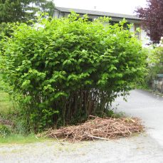 Japanese Knotweed (F. japonica) shrub on a residential property in Squamish