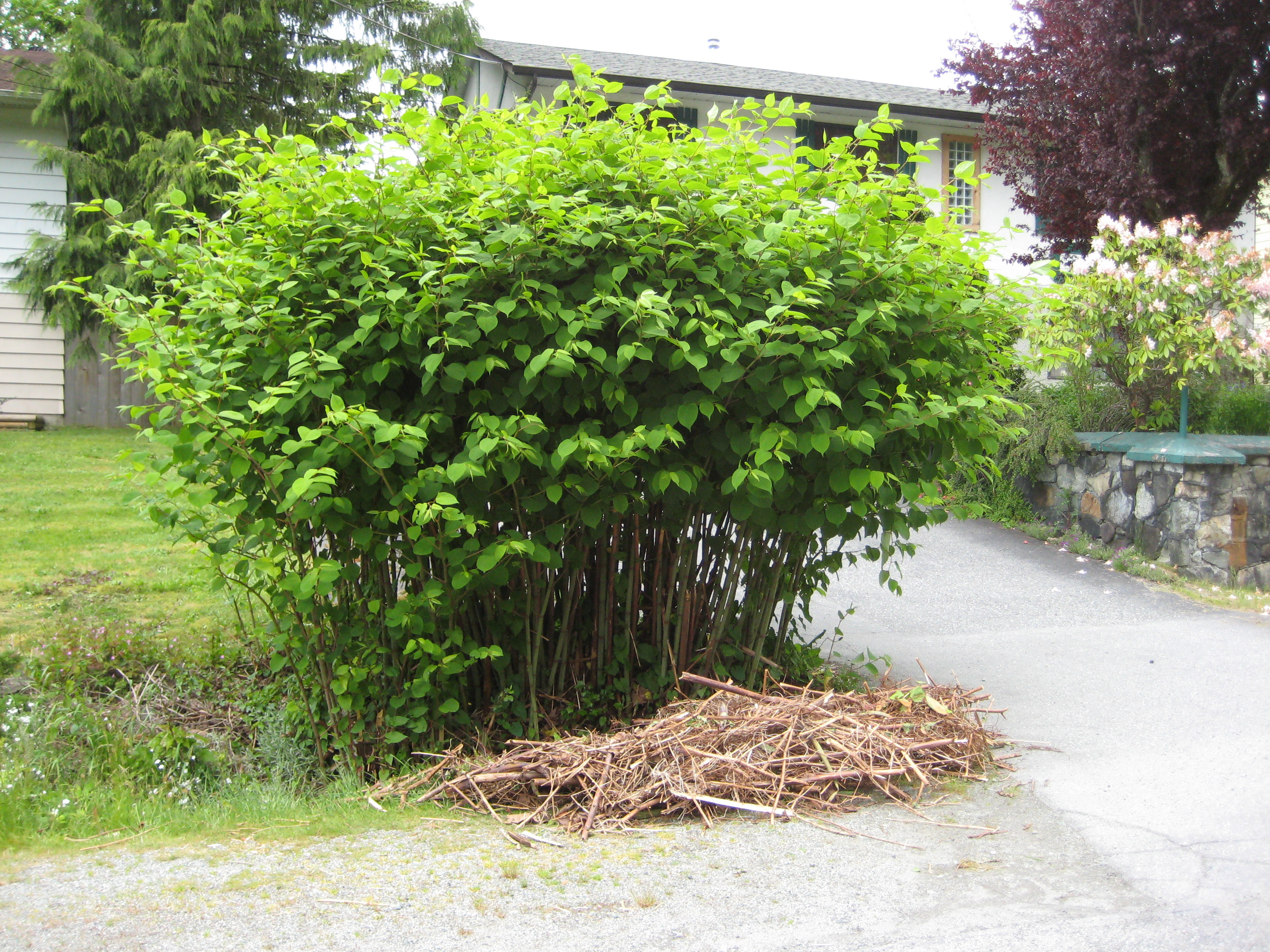 Japanese Knotweed (Fallopia japonica) in Squamish