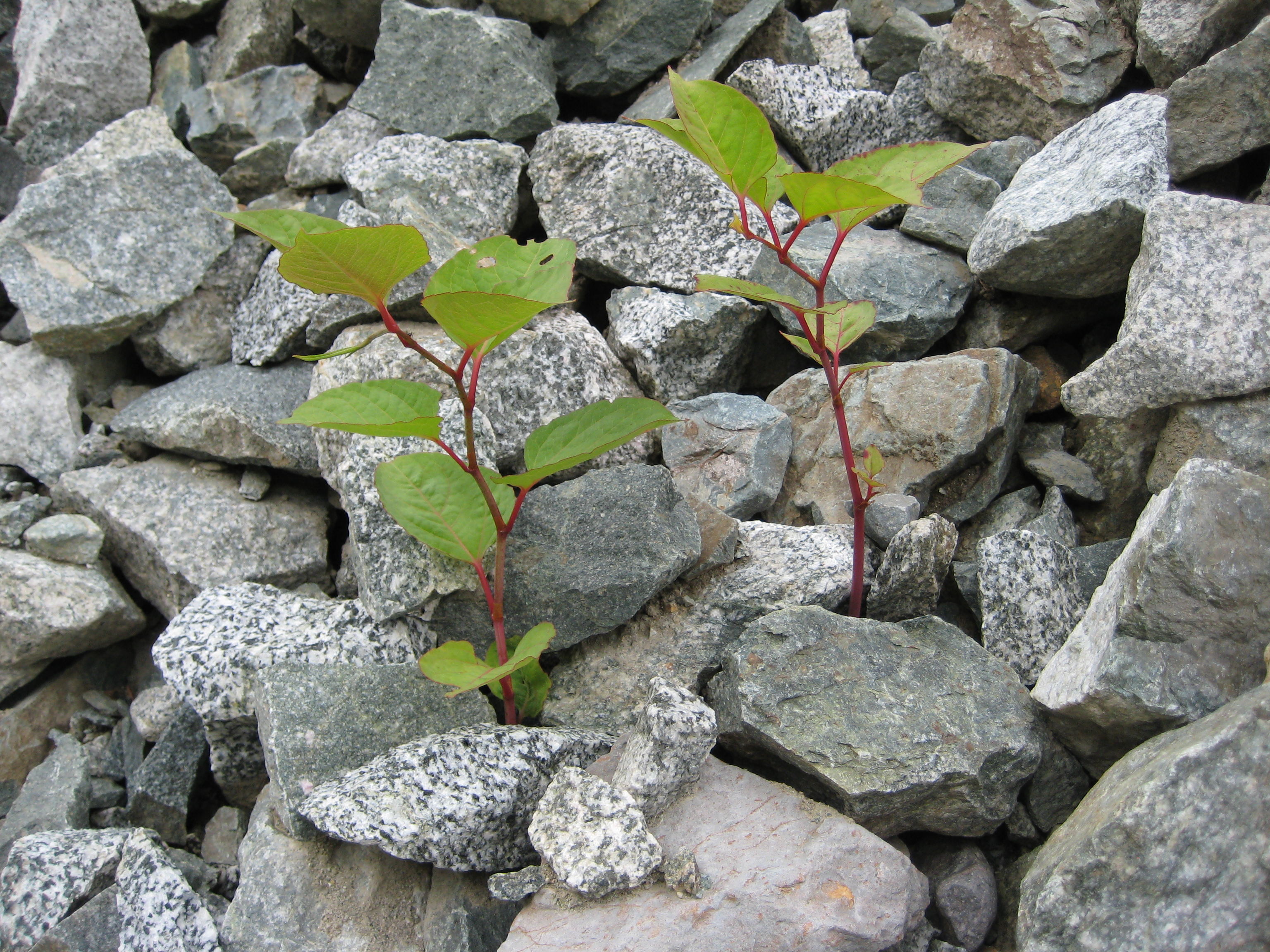 Fallopia japonica (Japanese knotweed) young2 sisc