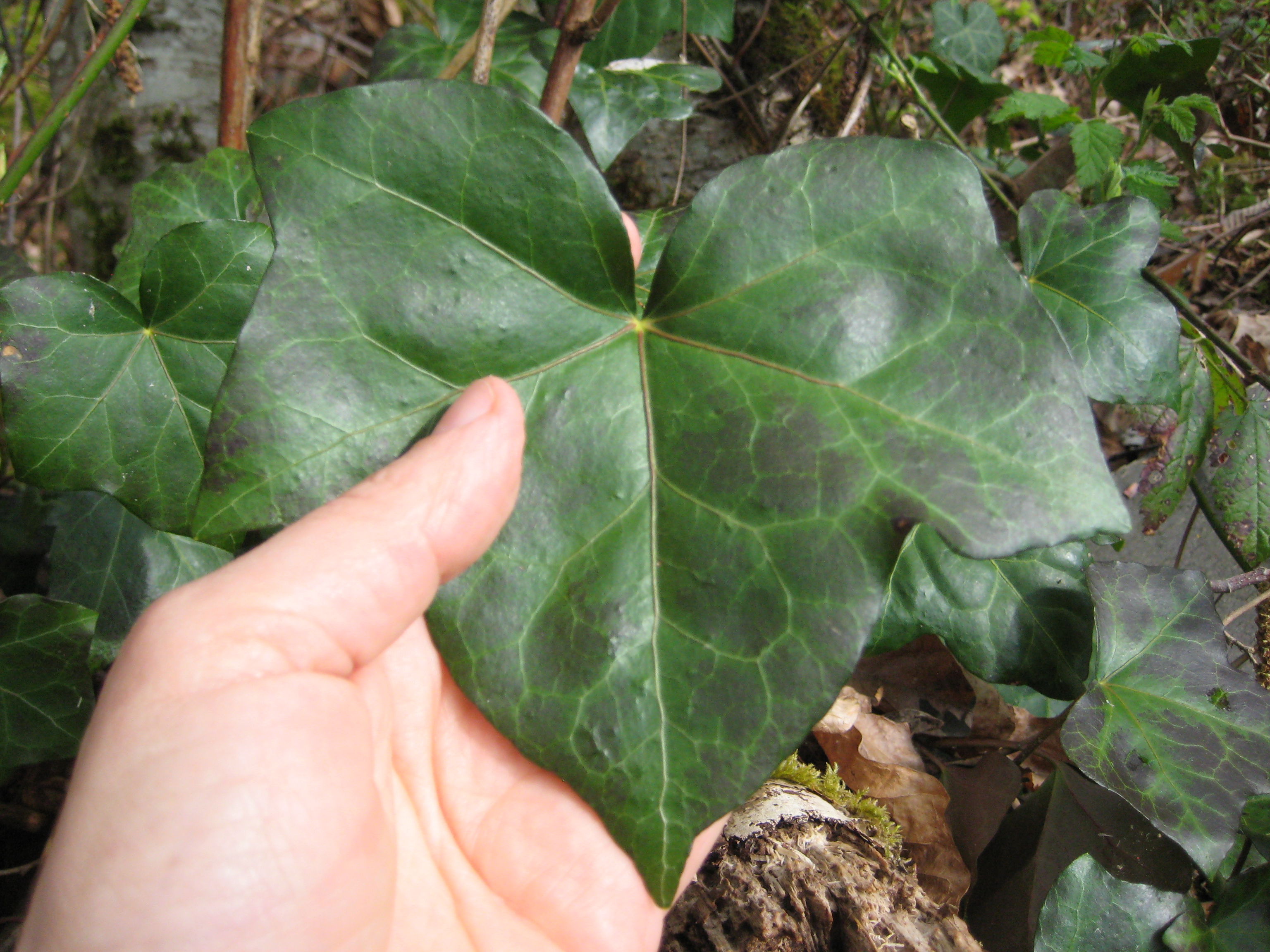 hedera_helix_english_ivy_foliage_ssisc