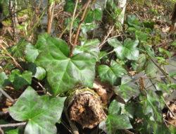 hedera_helix_english_ivy_plants_ssisc