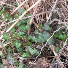 Hedera helix (English ivy) young SSISC