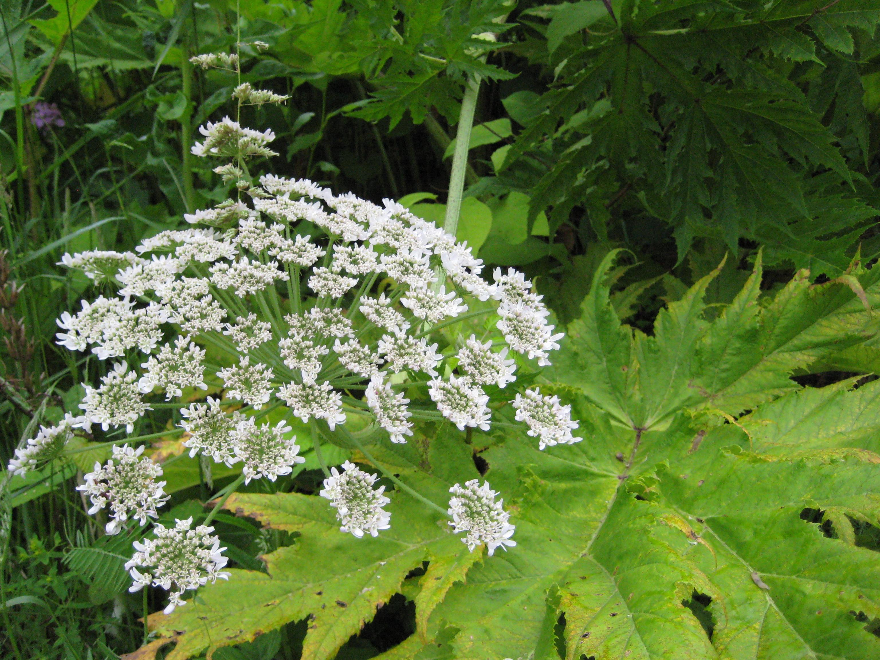 heracleum_mantegazzianum_giant_hogweed_flowers_ssisc
