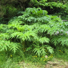 Giant Hogweed (SSISC)
