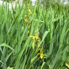 Iris pseudacorus (Yellow flag iris) plants 2 SSISC