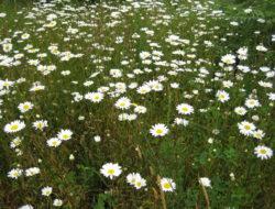 leucanthemum_vulgare_oxeye_daisy_plants_ssisc