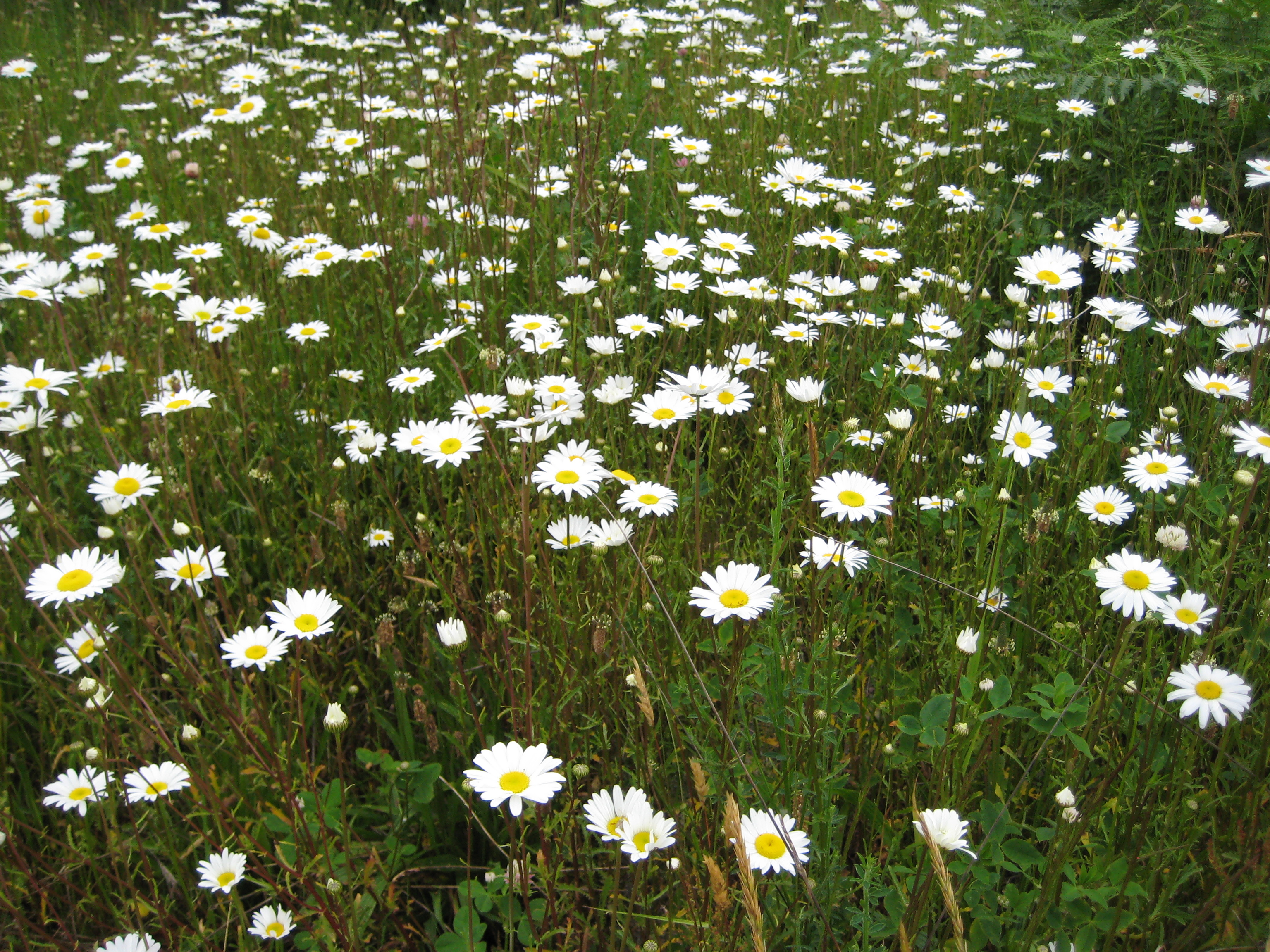 leucanthemum_vulgare_oxeye_daisy_plants_ssisc