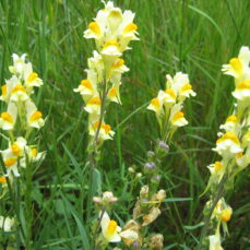 Linaria vulgaris (Yellow toadflax)