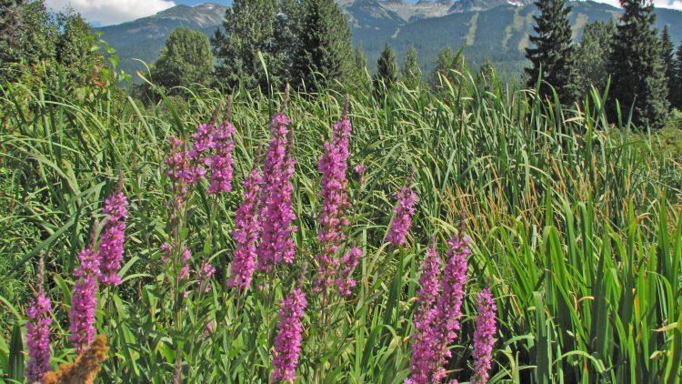 Purple Loosestrife Found in the Squamish Estuary