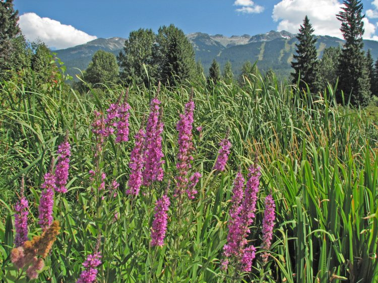 Purple Loosestrife Found in the Squamish Estuary