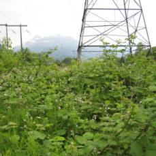 Rubus discolor (Himalayan blackberry)