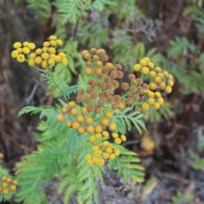 Common Tansy (SSISC)