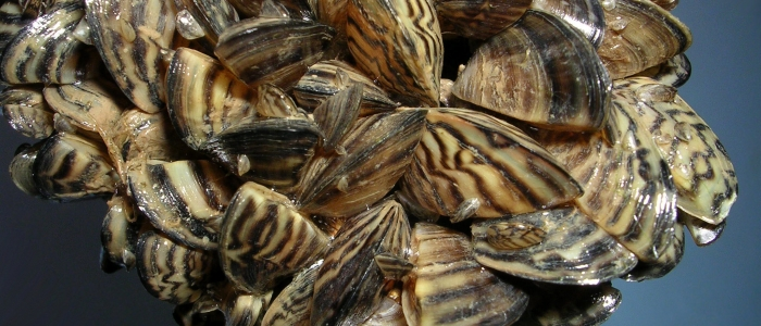 zebra mussels Photo credit U.S. Fish & Wildlife Service