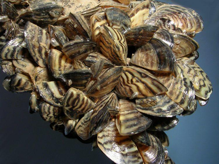 Dangerous invasive mussels found in aquarium moss balls