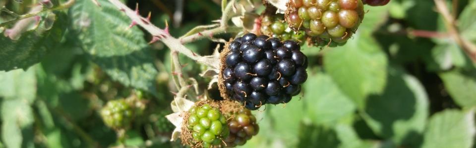 Himalayan Blackberry B. Johnson 1
