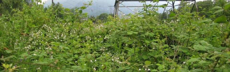 Rubus discolor (Himalayan Blackberry) 1