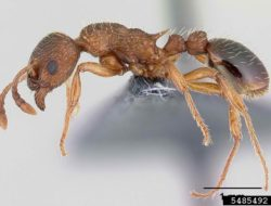 European Fire Ant