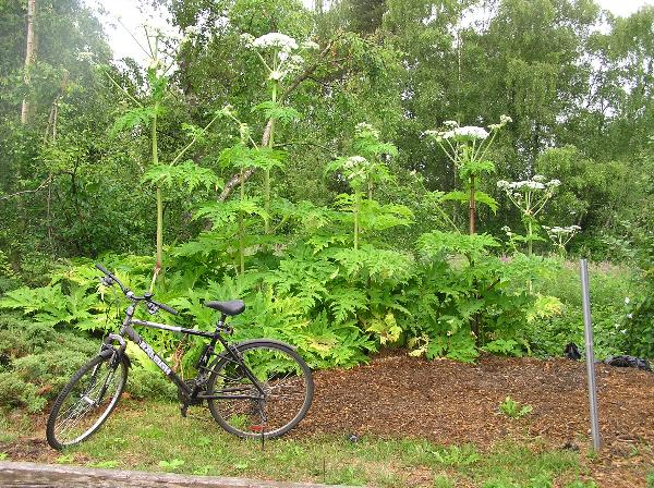 1. Giant hogweed (Hugh Griffith – EFlora)