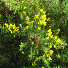 Gorse (B.Brown)