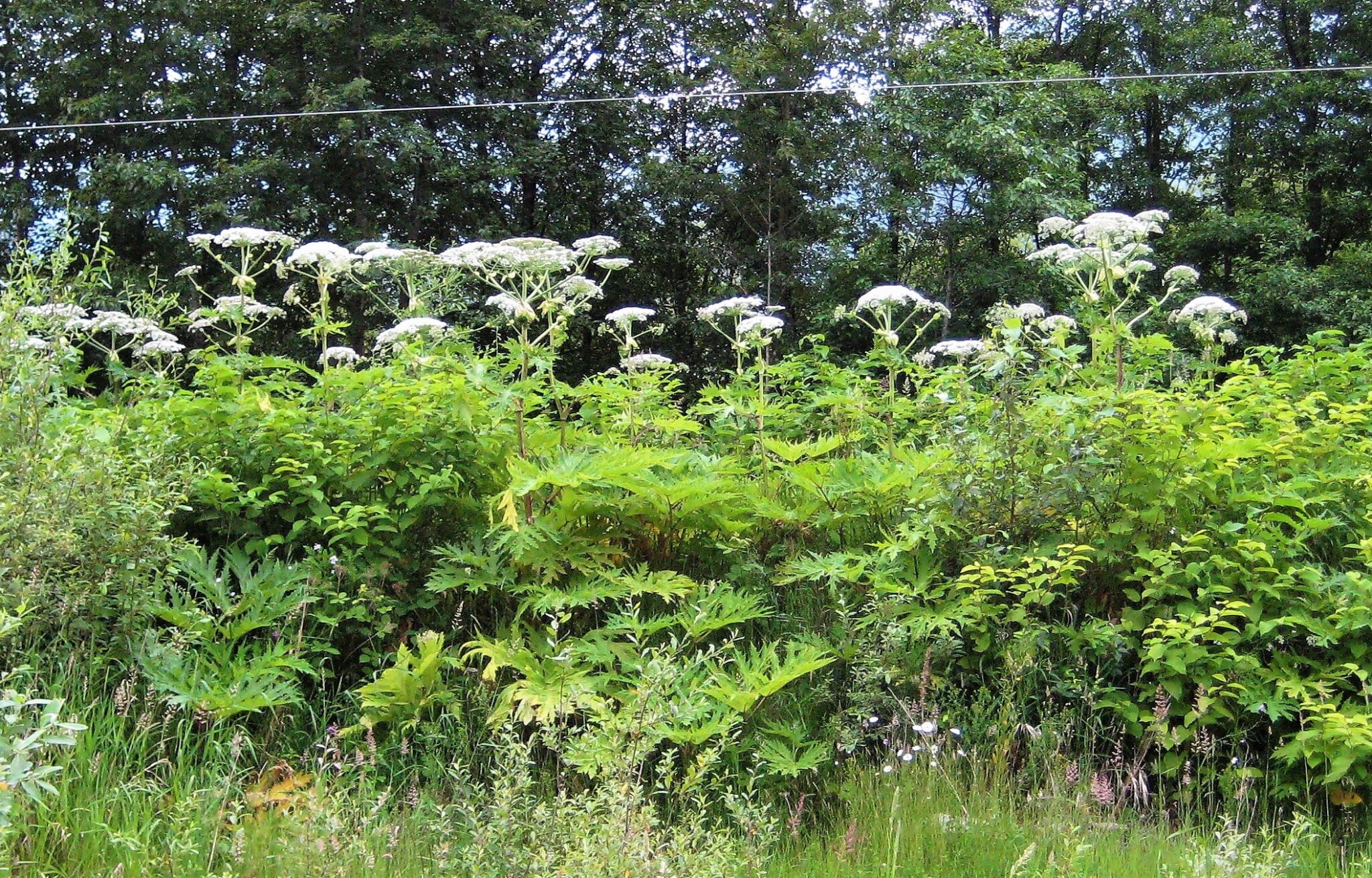 Hogweed patch 2