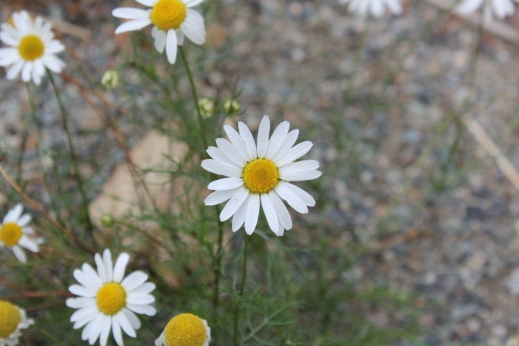 Weed of the Week – Scentless Chamomile