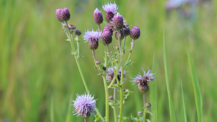 Weed of the Week – Canada Thistle