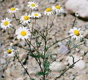 Scentless Chamomile (SSISC)