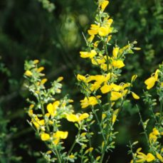 Scotch Broom (J. Leekie)