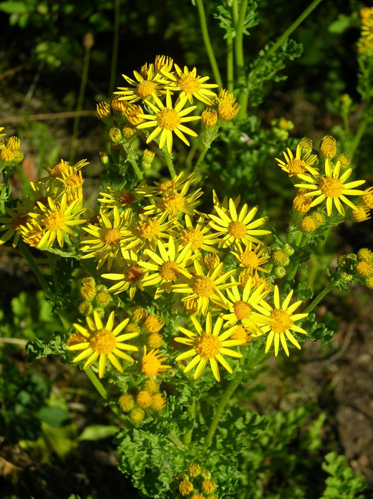 10.-Tansy-ragwort-flower-L.-Scott