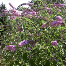 Butterfly Bush (Strauch)