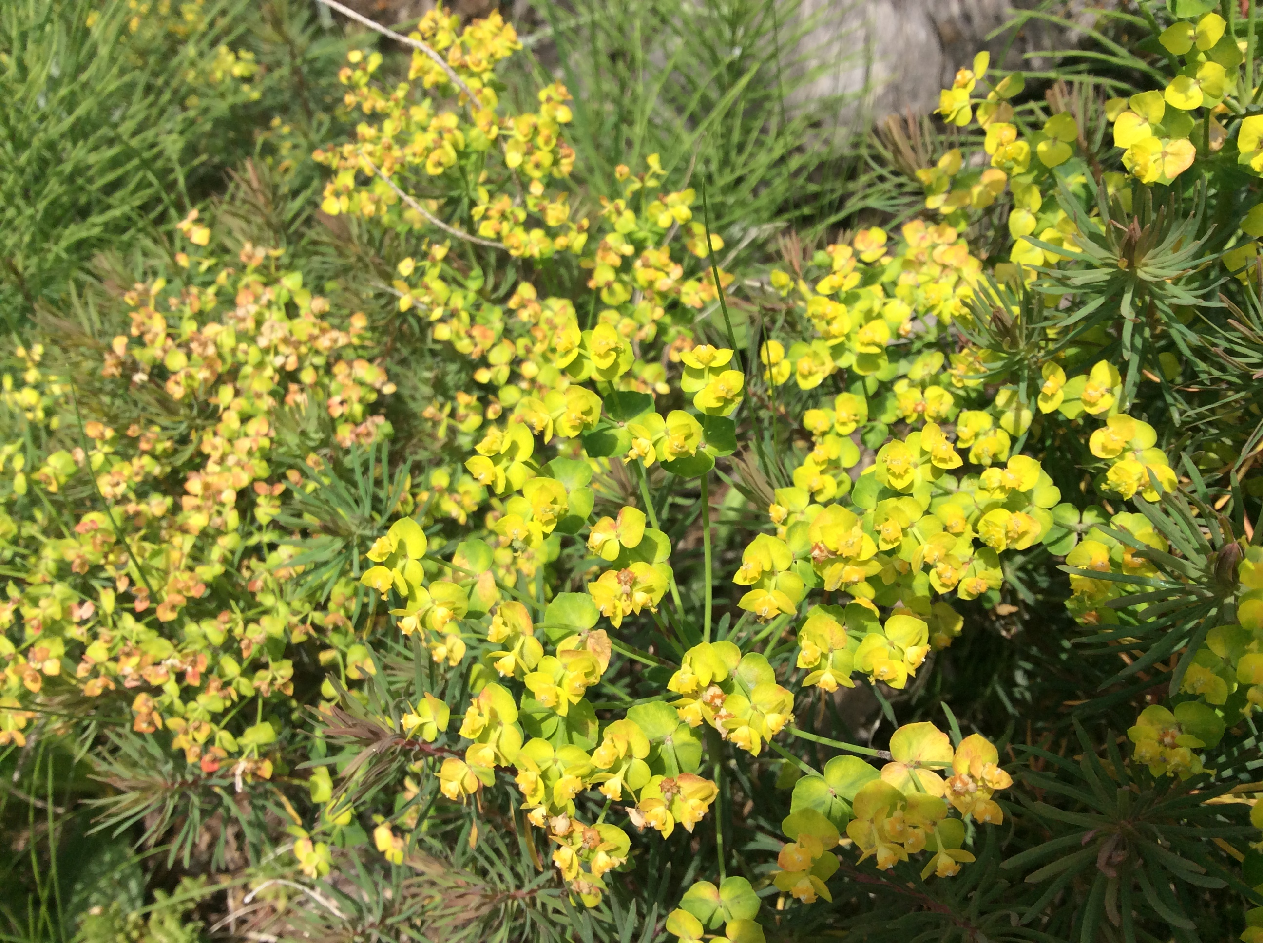 Cypress Spurge (M.Downie)