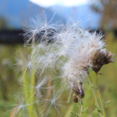 Canada Thistle (SSISC)