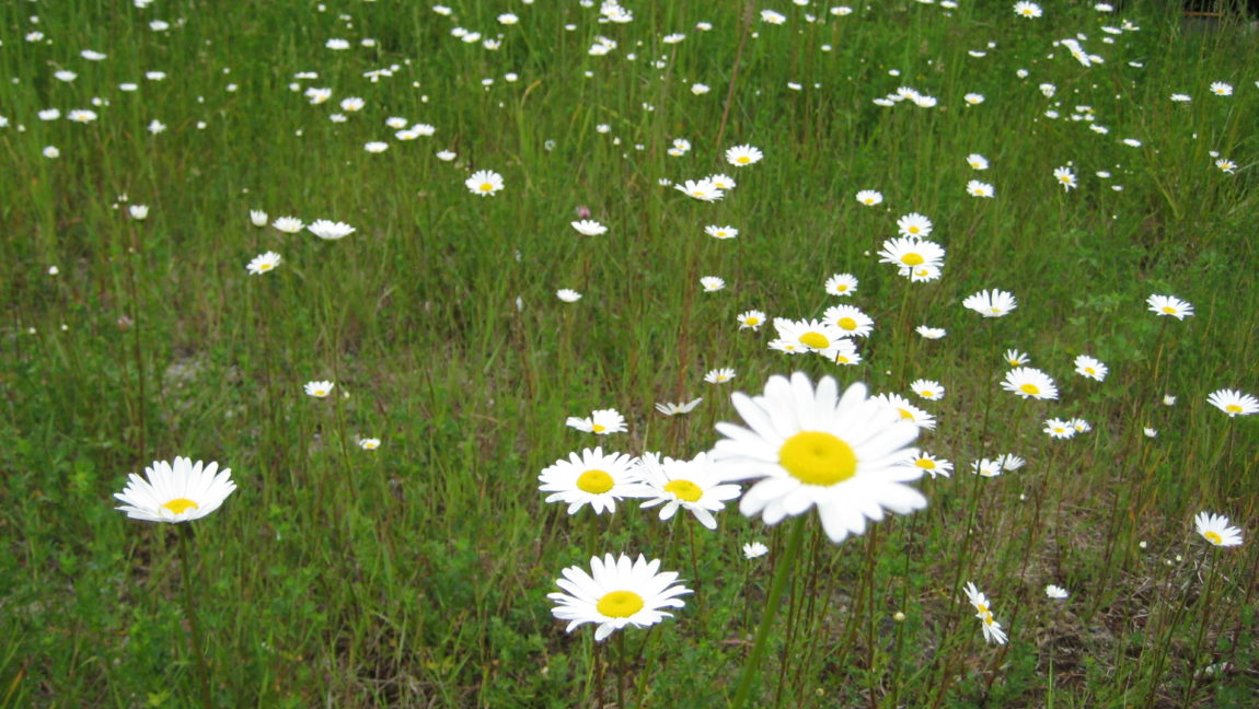 Weed of the Week – Oxeye Daisy
