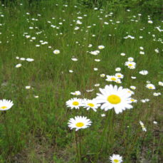 Oxeye Daisy (SSISC)