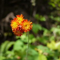 Orange Hawkweed (Breanne Johnson)