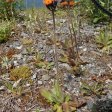 Orange Hawkweed (SSISC)