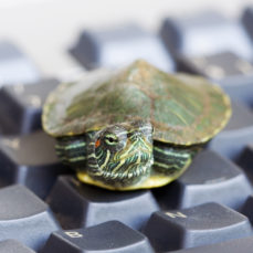 Red-Eared Slider Turtle (Canstock)