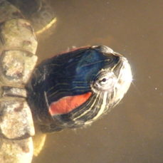 Red-Eared Slider Turtle (Les Leighton)