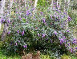 butterfly_bush1