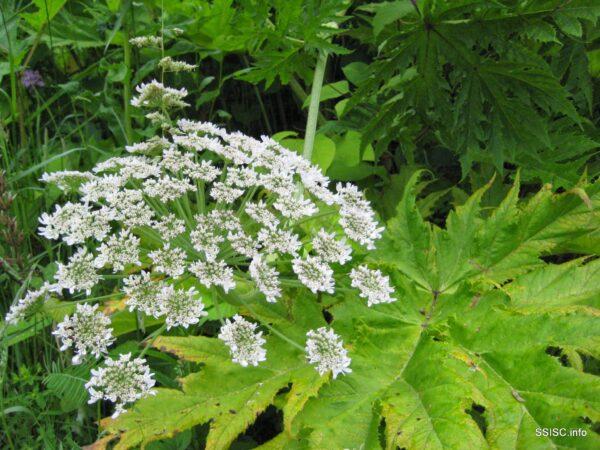 heracleum_mantegazzianum_giant_hogweed_flowers_ssisc-600x450