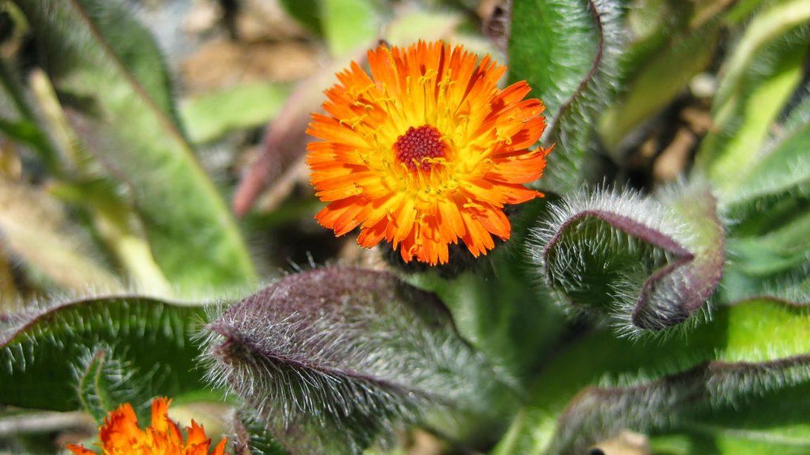 Weed of the Week – Orange Hawkweed