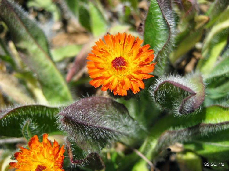 Weed of the Week – Orange Hawkweed