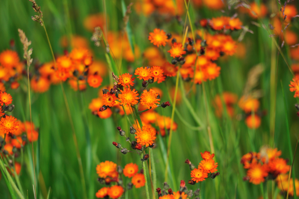 orange_hawkweed_1_DaveSteers1