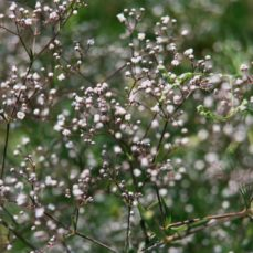 Baby's breath (J.Leekie)