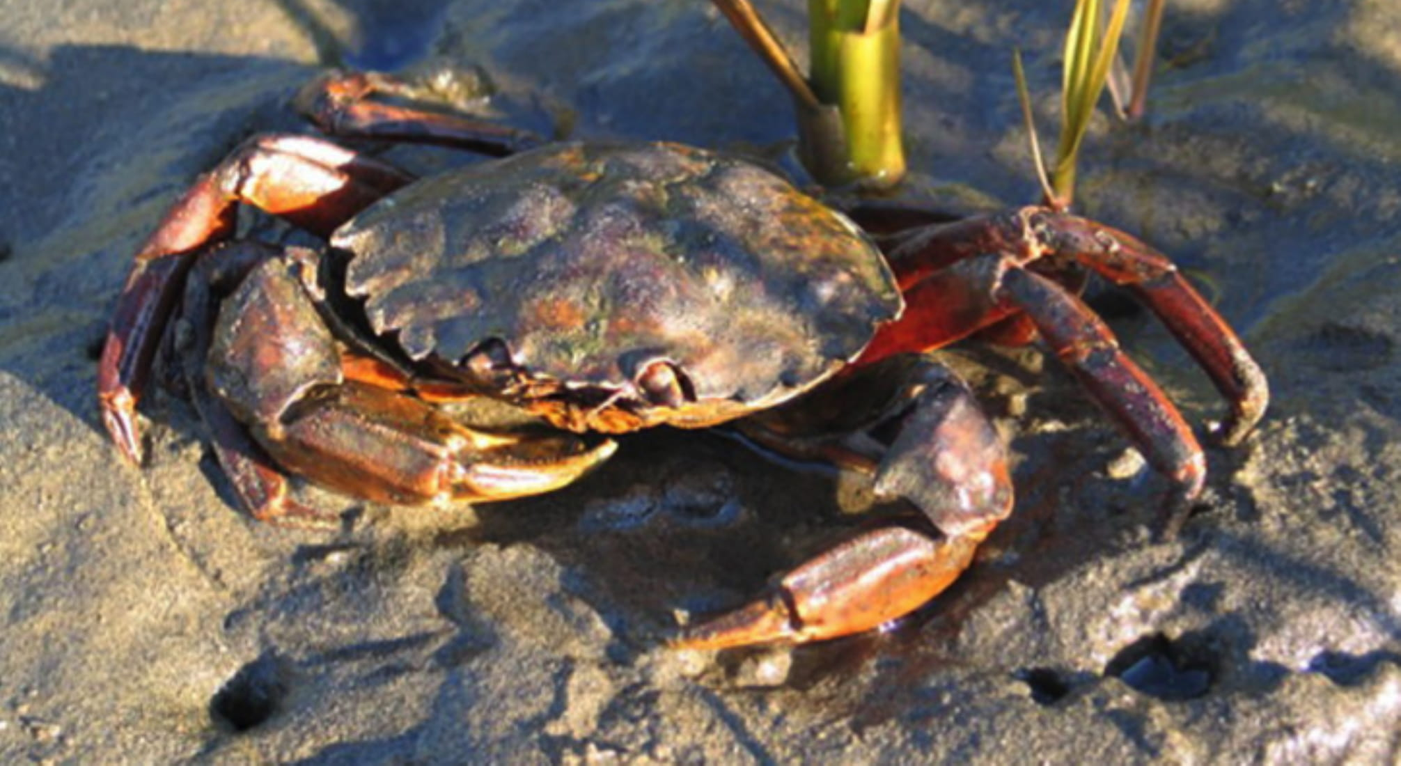 Eur-Green-Crab-Jeff-Adams-3