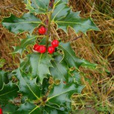 Holly fruit (K. Newell)