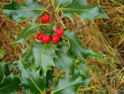 Holly-fruit-K.-Newell
