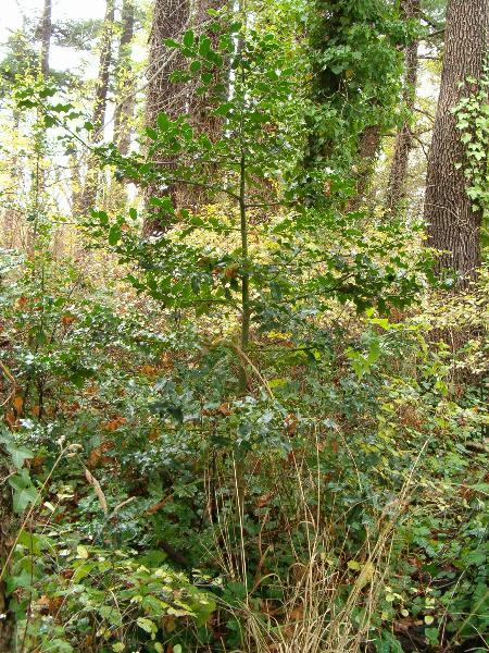 English Holly Tree (K. Newell)