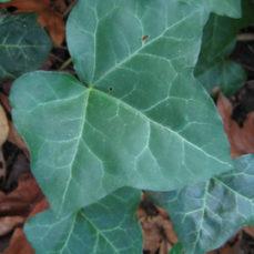 English Ivy (D. Hanna)