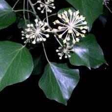 Mature English Ivy (Amelie Rosseau, EFlora)